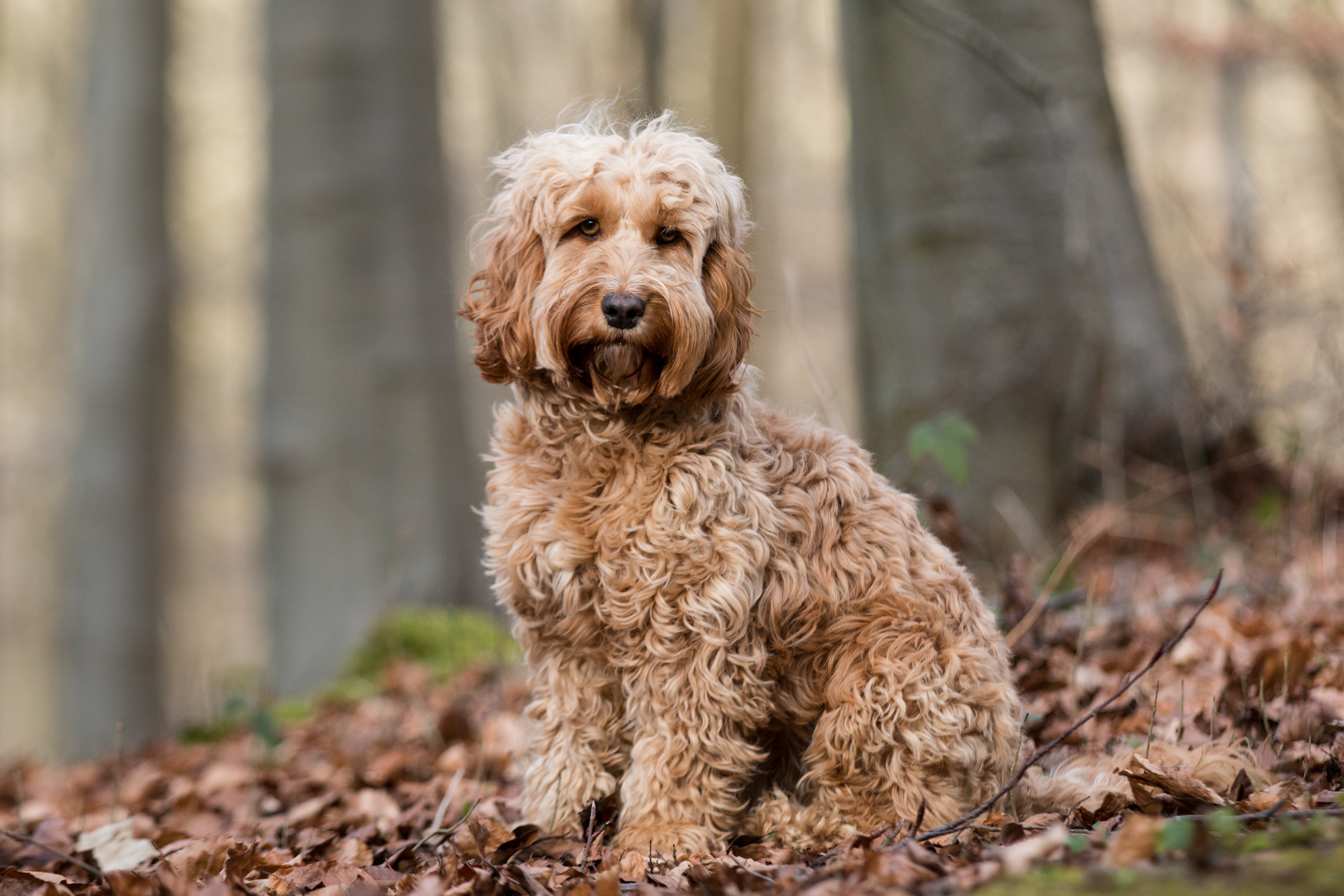 Seems Tools to groom a cockapoo question Between